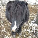 Balder-shetlandsponni